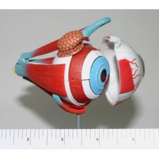 2-inch Eye Model with Muscles