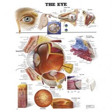 Illustrated Eye Anatomical Chart